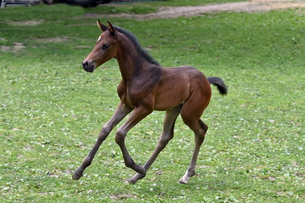 Ricochete Rose 2015 Filly@1 week photo by Allen McMillan